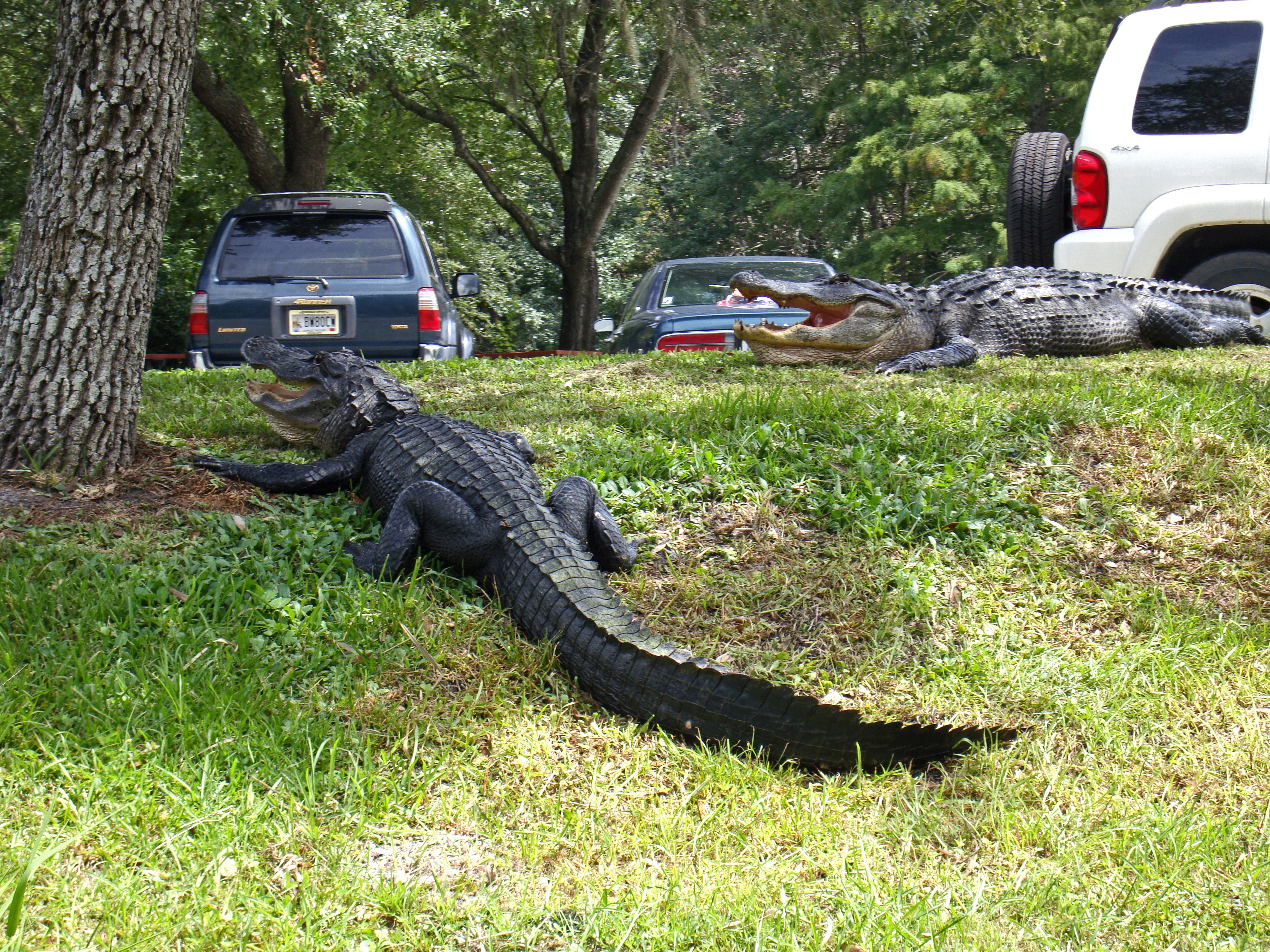 Okefenokee Swamp Alligator Tours